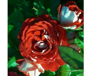 Twin flower circus rose