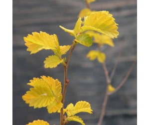 Ulmus Beijing Gold