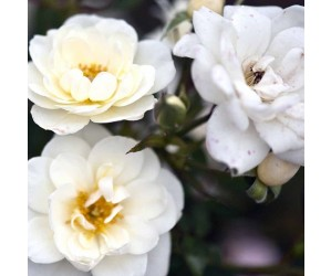 White cover rose