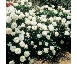 Opstammet rose White Meidiland