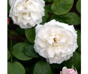 Winchester Cathedral engelsk rose opstammet