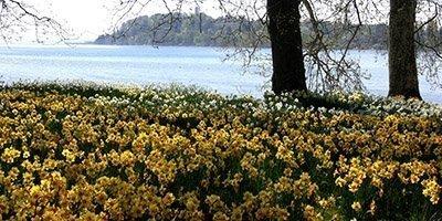 Bunddækkende påskeliljer